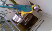 очень дружелюбный синий и золотой попугаев ара.