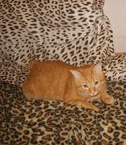 курильского бобтейла кот на вязку